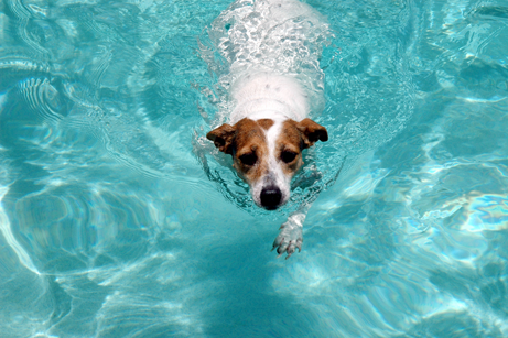Dog---in-Pool
